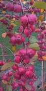 malus newark nursery